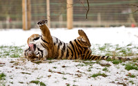 Tiger Stretching in the Snow