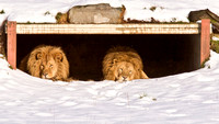 Male Lions relaxing on a Snowy day