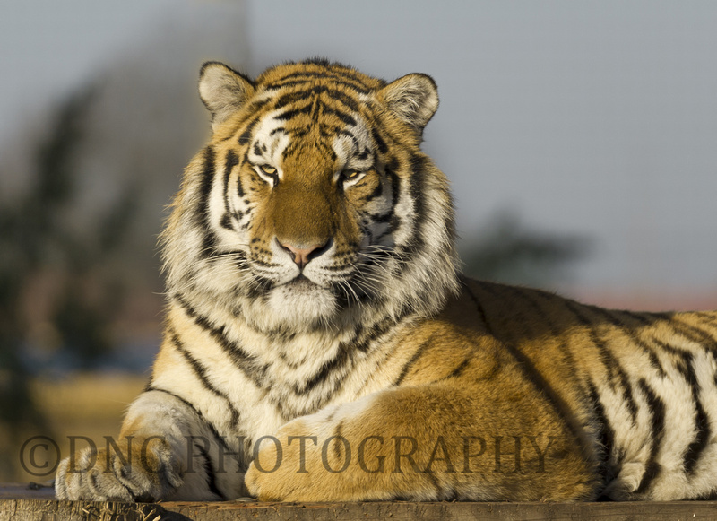 Young Male Tiger 2