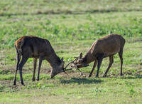 Young Red Deer Stags