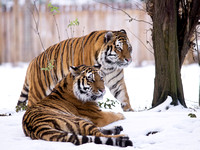Tiger Couple in the Snow